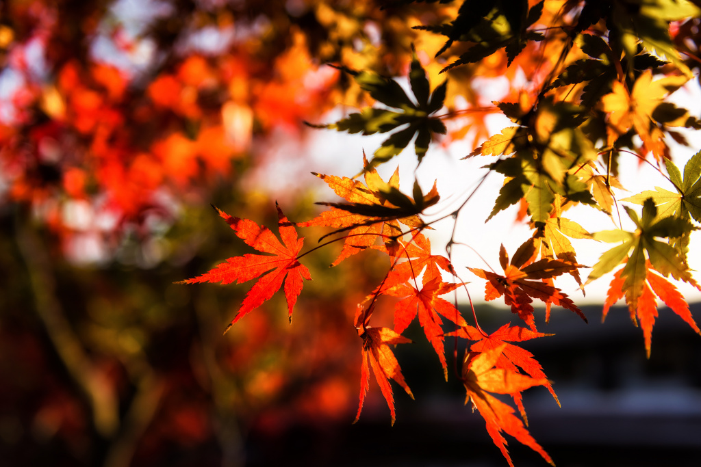 osen-listia-colorful-klen-autumn-leaves-osennie-maple-5.jpg